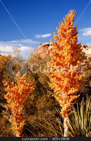 Yellow Nolina Beargrass Blossums Hidden Valley Mojave Desert Jos stock photo, Yellow Nolina Beargrass Blossums Hidden Valley Joshua Tree Landscape Mojave Desert Joshua Tree National Park California Rock Climbers in background by William Perry