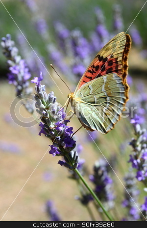 Beautiful Butterfly sitting on lavender plants  stock photo, Beautiful Butterfly sitting on lavender plants  by Mariusz Prusaczyk