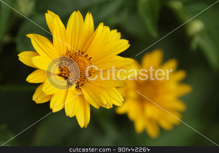Arnica stock photo, Yellow arnica in the garden, closeup photo by Olena Pupirina