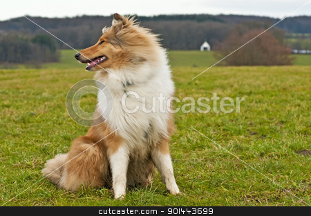 Collie dog stock photo,  collie dog by Hans-Joachim Schneider