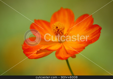 Yellow flower stock photo, Close up view of the yellow flower by Zvonimir Atletic