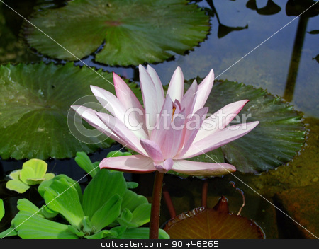 Waterlily stock photo, Waterlily flower, lotos by Zvonimir Atletic
