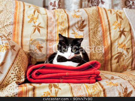 Elegant cat on sofa stock photo, Funny elegant black and white cat  on home sofa by Alberto Rigamonti