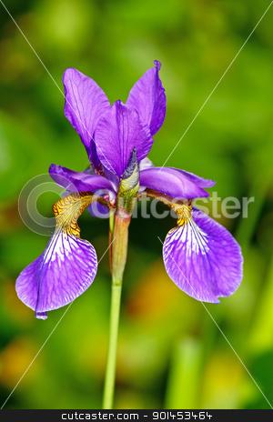 Blue iris stock photo, Blue iris flower in front of green leaves by Borislav Marinic