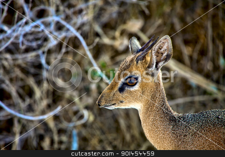 face of a dik-dik at etosha national park namibia stock photo, face of a dik-dik at etosha national park namibia by gallet