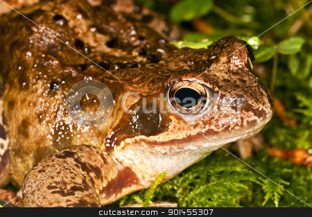 agile frog, Rana dalmatina stock photo, agile frog, Rana dalmatina by Hans-Joachim Schneider