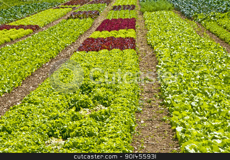 salad cultivation stock photo, salad cultivation by Hans-Joachim Schneider
