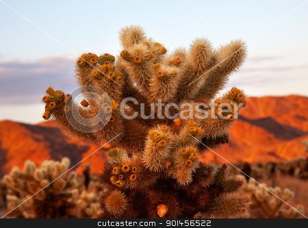 Cholla Cactus Garden Mojave Desert Joshua Tree National Park Cal stock photo, Cholla Cactus Garden Sunset Mojave Desert Joshua Tree National Park California  Teddy bear Cholla Cactus Cylindropuntia bigelovii Named for a teddy bear because from distance looks furry. by William Perry