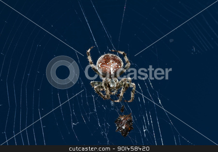 garden spider with victim stock photo, garden spider, Araneus diadematus by Hans-Joachim Schneider