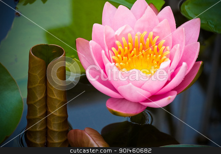 pink lotus stock photo, pink lotus in the pond by Komkrit Muangchan