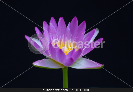 purple lotus stock photo, purple lotus on black background by Komkrit Muangchan