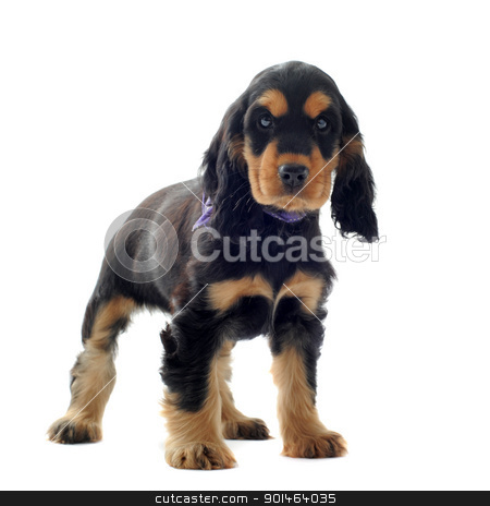 puppy english cocker stock photo, portrait of a  purebred puppy english cocker in a studio by Bonzami Emmanuelle