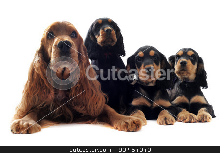 family english cocker stock photo, portrait of a  family of cocker spaniel in a studio by Bonzami Emmanuelle