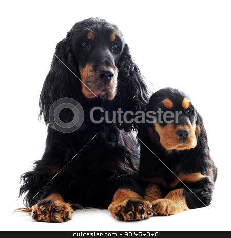 puppy and adult english cocker stock photo, portrait of a  purebred puppy and adult english cocker in a studio by Bonzami Emmanuelle