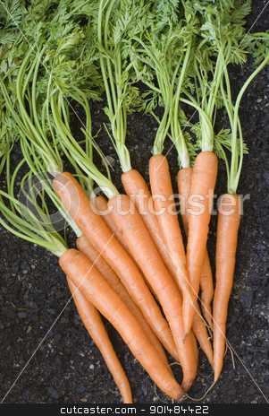 Bunch Of Fresh Carrots stock photo, Bunch of lovely clean fresh orange carrots with their leaves , vertical. by Stephen Gibson