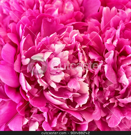 The texture of the pion stock photo, The texture of the petals of pink peonies by rezkrr