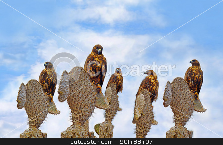 Galapagos Hawks on Santa Fe stock photo, A group of Galapagos Hawks on cacti,  Santa Fe by Kjersti Jorgensen
