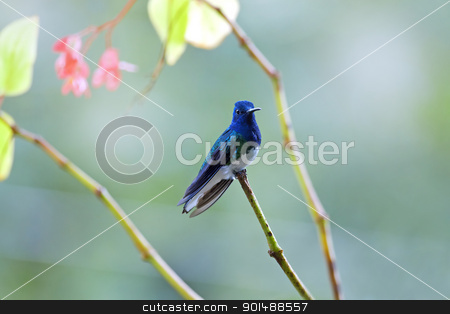 Hummingbird stock photo, Hummingbird resting on a branch in Costa Rica by Kjersti Jorgensen