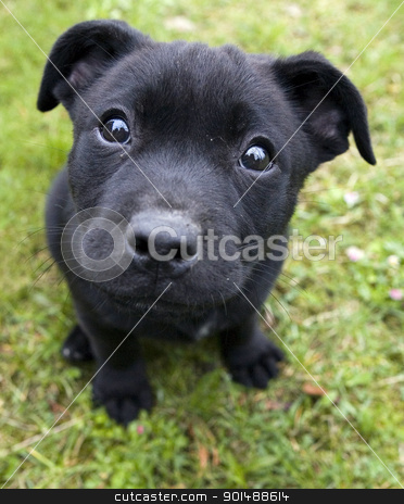american Stafford terrier puppies on GREEN background stock photo, american Stafford terrier puppies on GREEN background by just4you