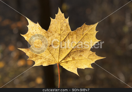 Autumn leaf closeup stock photo, Autumn leaf closeup in a sunny day on a dark background by virin