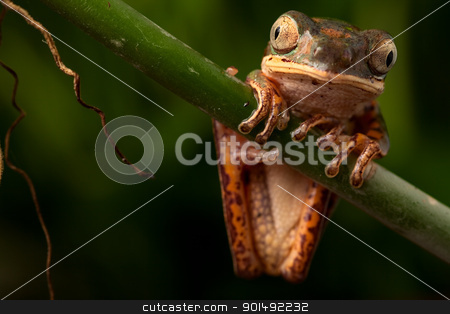 tree frog stock photo, tree frog sitting on branch in tropical amazon rain forest Brazil, phyllomedusa hypochondrialis by Dirk Ercken