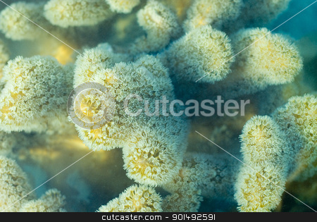 leather coral polyps stock photo, macro image of extended polyps of a leather coral, Sarcophyton sp., family Alcyoniinae by Stephen Gibson
