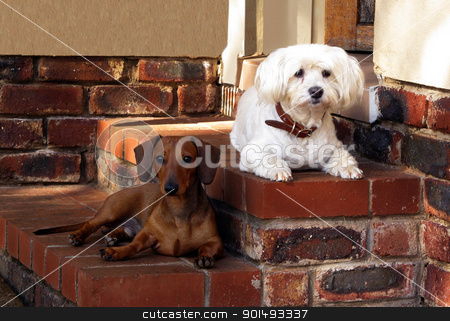 Guarding Together stock photo, Pet Friends Maltese and Miniature Dachshund Guarding House by Snap2Art