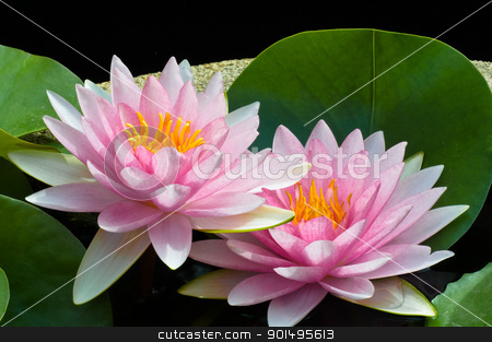 pink lotus stock photo, pink lotus by Komkrit Muangchan