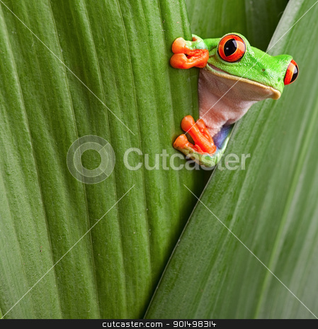 red eyed tree frog  stock photo, curious red eyed tree frog hiding in green background leafs Agalychnis callydrias exotic amphibian macro treefrog copyspace by Dirk Ercken