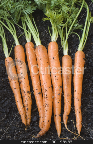 Fresh harvested carrots stock photo, a bunch of fresh harvested carrots laid on the ground by Stephen Gibson