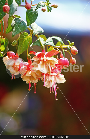 Fuchsia stock photo, White and red flowers of fuchsia by Borislav Marinic