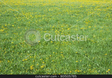 dandelion field stock photo, An image of a dandelion field background by Markus Gann