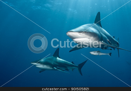 Shark pair stock photo, The front view of two blacktip sharks nearing, KwaZulu Natal, South Africa by Fiona Ayerst Underwater Photography