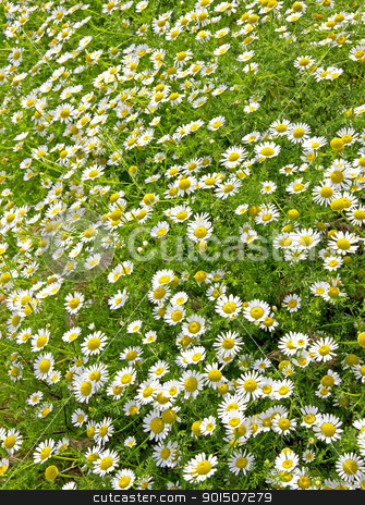 Field of daisies stock photo, Field of white daisies can use as flower background by Morozova Oxana