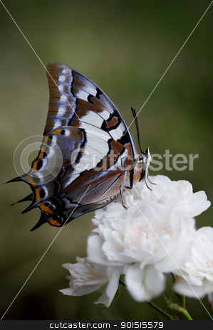 butterfly on a rose flower stock photo, pretty swallowtail butterfly on a rose flower by Phil Morley