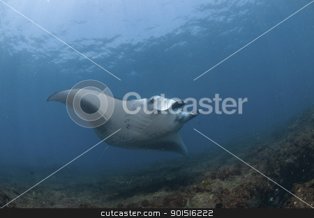 Nearing mantaray stock photo, The view of a mantaray swimming along a reef, Zavora, Mozambique by Fiona Ayerst Underwater Photography