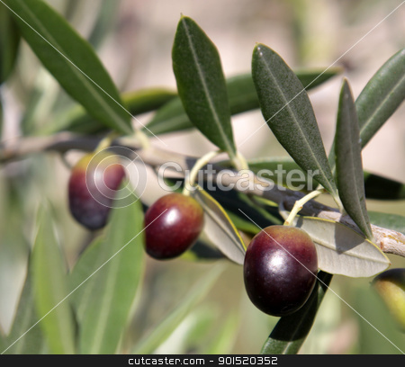 Three Olives stock photo, Olives still on the branch of an Olive tree in Italy.  by Chris Hill