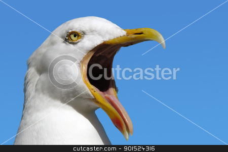 Seagull with its mouth wide open. stock photo, Seagull with its mouth wide open. by Stephen Rees