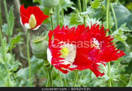 Blooming poppy flower bud closeup backdrop  stock photo, Blooming poppy flower bud closeup natural backdrop background.  by sauletas