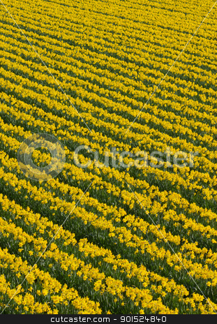 Lots of rows of yellow daffodil flowers in a field. stock photo, Lots of rows of yellow daffodil flowers in a field. by Stephen Rees