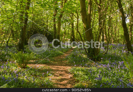 Bluebells along a path in the woods, Tehidy Park Cornwall UK. stock photo, Bluebells along a path in the woods, Tehidy Park Cornwall UK. by Stephen Rees