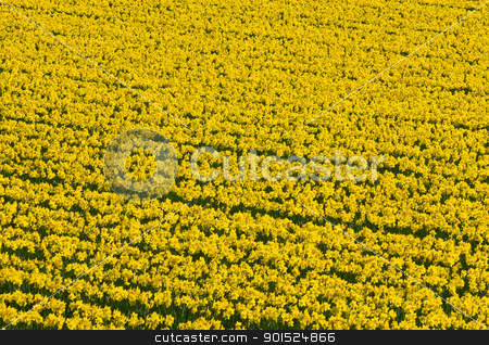Thousands of yellow daffodils flowers in an English field. stock photo, Thousands of yellow daffodils flowers in an English field. by Stephen Rees