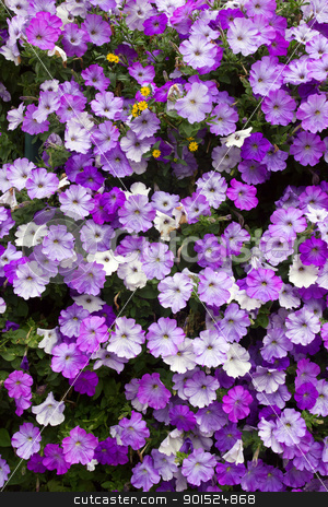Lots of colorful petunia flowers close up. stock photo, Lots of colorful petunia flowers close up. by Stephen Rees