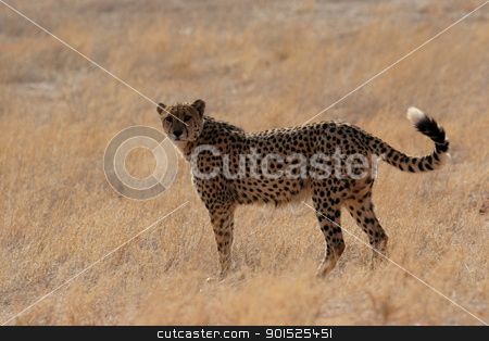 Cheetah stock photo, Cheetah in the Kalahari Desert, Namibia by DirkR