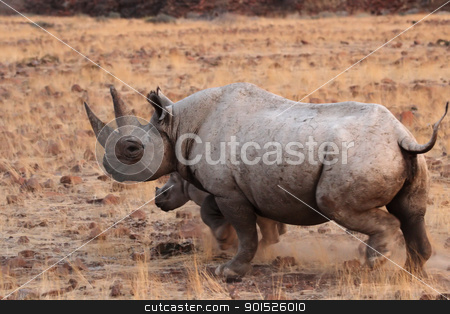 Hook-lipped Rhinoceros stock photo, A Hook-lipped Rhinoceros (Diceros bicornis), also known as Black Rhino, with her child. A rare encounter from the desert of Damaraland in northern Namibia. by DirkR