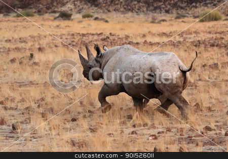 Hook-lipped Rhinoceros (Diceros bicornis) stock photo, A Hook-lipped Rhinoceros (Diceros bicornis), aka Black Rhino, with her child. A rare encounter from the desert of Damaraland in northern Namibia. by DirkR