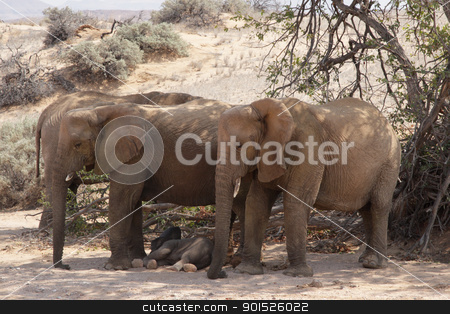 Desert Elephants stock photo, A family of desert elephants relaxes in the shadow of an acacia tree; Damaraland, Namibia by DirkR