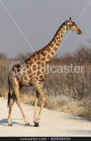 Giraffe (Giraffa camelopardalis) stock photo, Giraffe (Giraffa camelopardalis) in the Etosha National Park, Namibia by DirkR