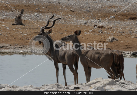 Greater Kudu (Tragelaphus strepsiceros) stock photo, Greater Kudus (Tragelaphus strepsiceros) in the Etosha National Park, Namibia by DirkR