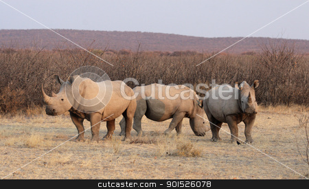 Square-lipped Rhinoceros (Ceratotherium simum) stock photo, Square-lipped Rhinoceros (Ceratotherium simum) in the Etosha National Park, Namibia by DirkR